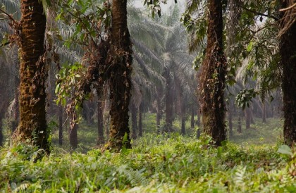 Where forests and farms once stood, oil palms now stretch as far as the eye can see...
